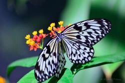 Karibischer Schmetterling