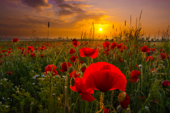 Mohnblumenfeld im Sonnenaufgang