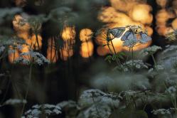 Der Baum-Weißling (Aporia crataegi)