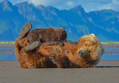Nursing break, grizzly bear with cub / --- Diepause, grizzlybjørn med unge