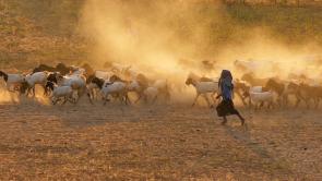 Hirtin und Herde in Myanmar