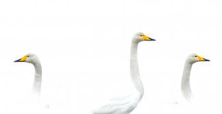 Swan heads