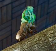 Das Schlüpfen der Zikade
