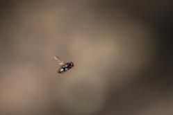Fliege im Flug