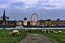 Schafe auf den Rheinuferwiesen