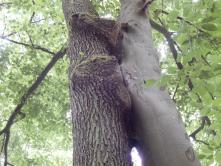 Baum-Liebespaar als NaturWunderWerk