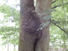 Der Kuss von zwei Bäumen als NaturWunderWerk