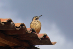 Andean Pied Woodpecker