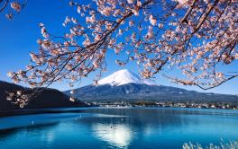 Chasing Sakura