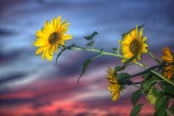 Sonnenblumen in der Abenddämmerung