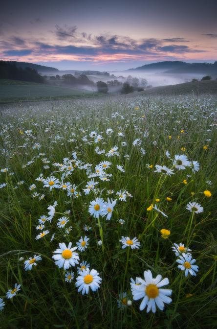 Margeriten im Morgentau
