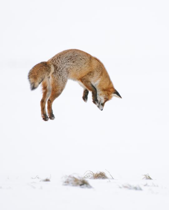 Fuchs im Sprung