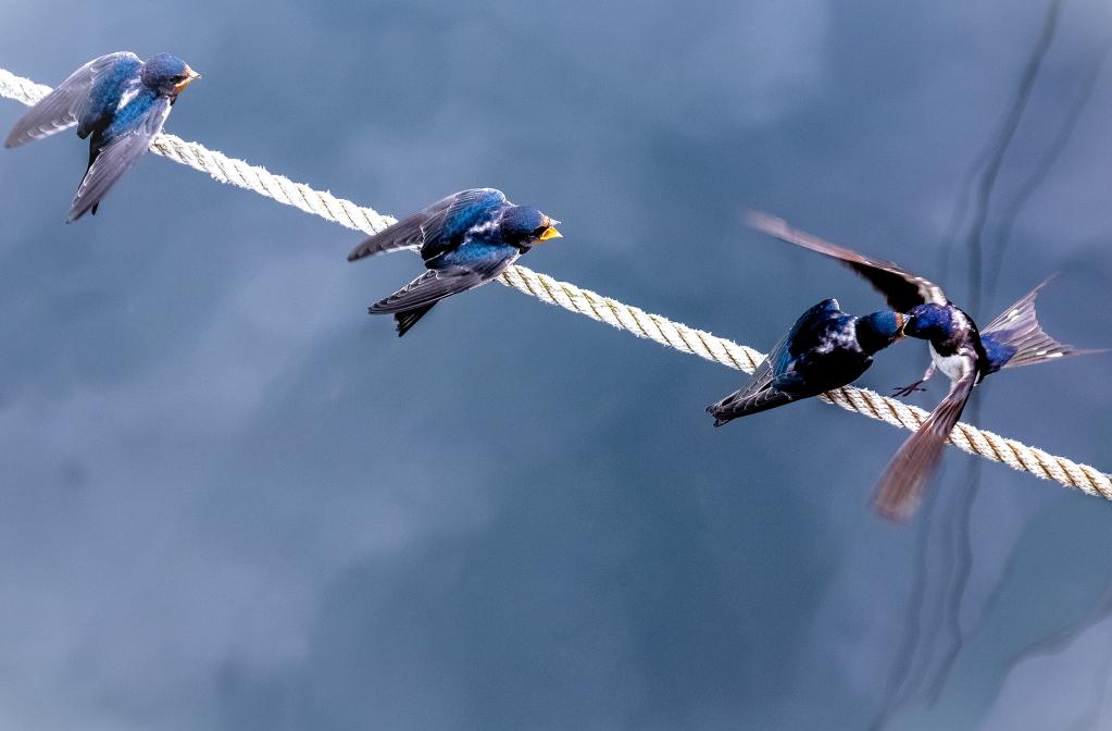 altvogelanflug