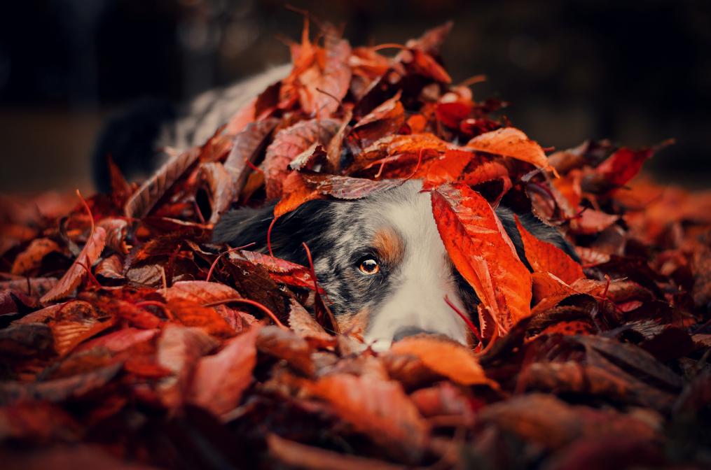 Herbst auf Border Collieart