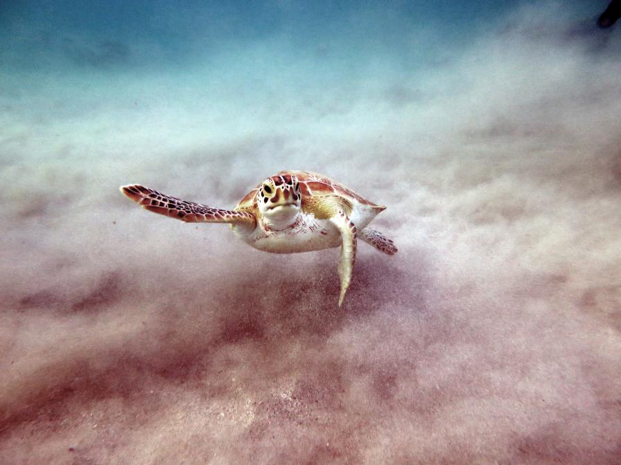 Serie: Schildkröten bei der Nahrungsaufnahme vor Curacao
