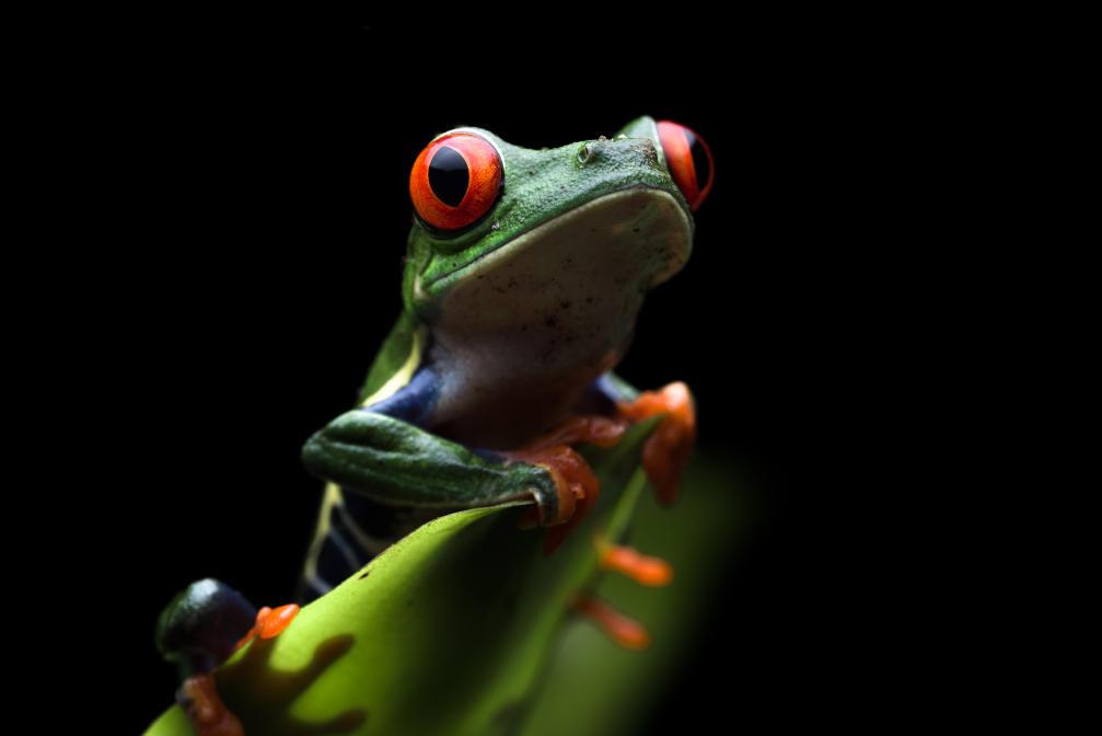 Rot-Augen-Laubfrosch