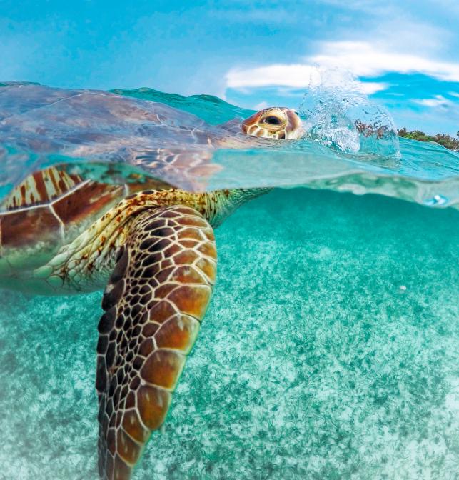Schildkröte beim Luftholen