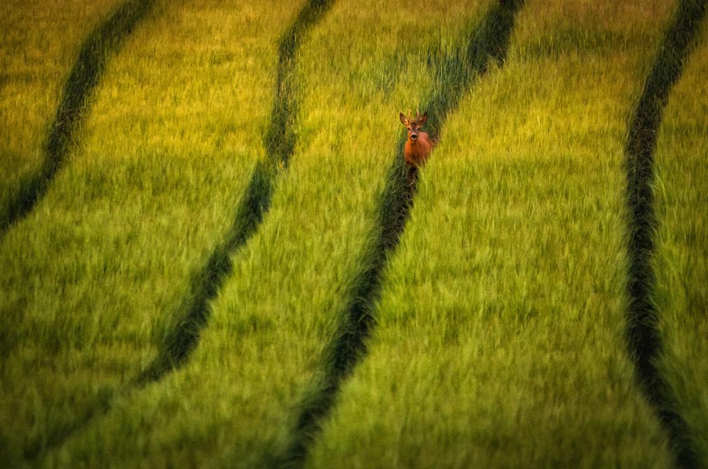 Reh im Feld