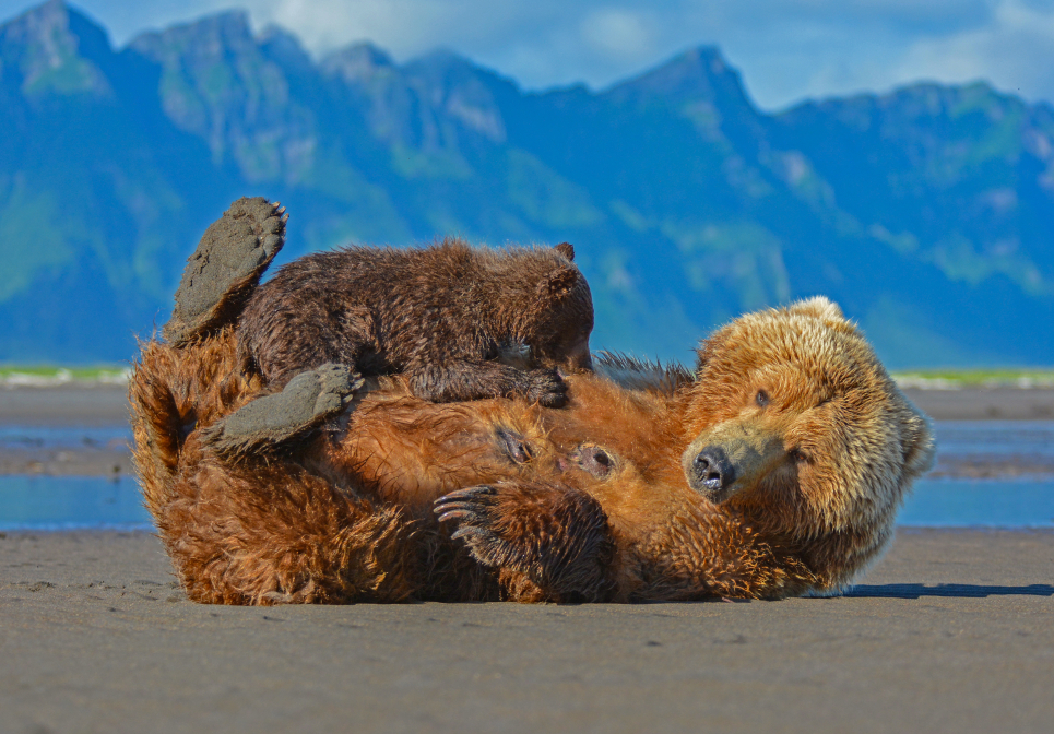 Nursing break, grizzly bear with cub / --- Diepause, grizzlybjørn med unge