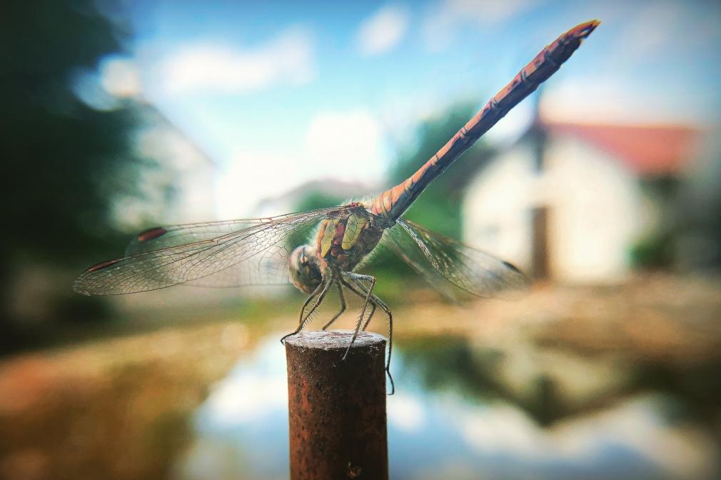 """Auf Englisch """"Flydragon"""" (Libelle) genannt."""