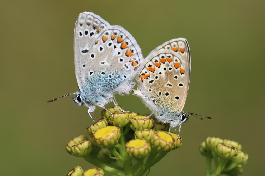 Schmetterlings-Liebe