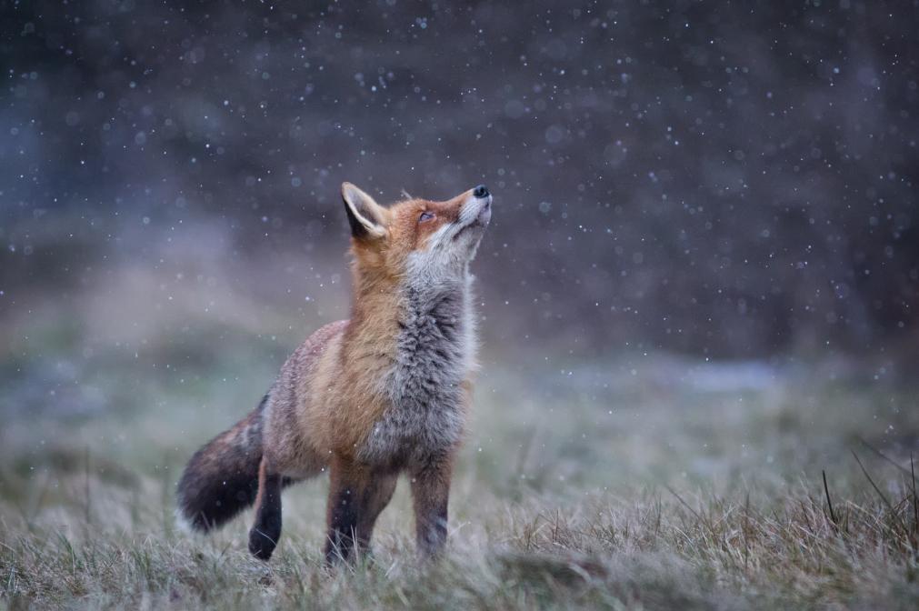 Füchslein im Schnee
