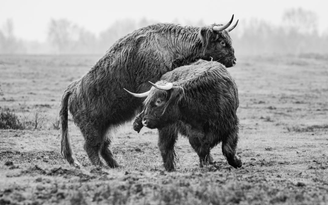 Schottische Hochlandrinder in der Paarungszeit.