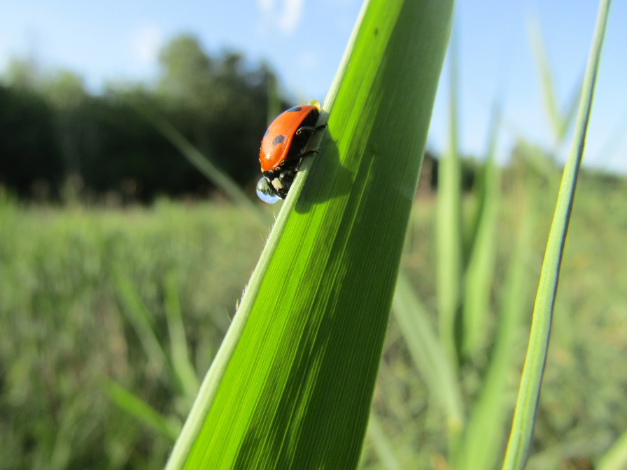 Morning ladybird