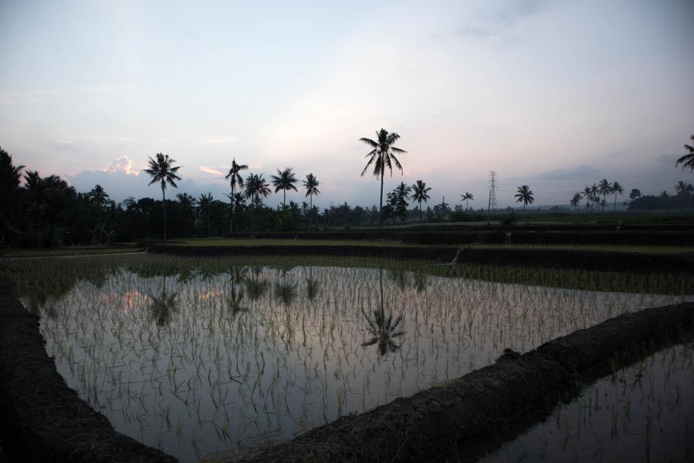 Rijstveld Banyuwangi