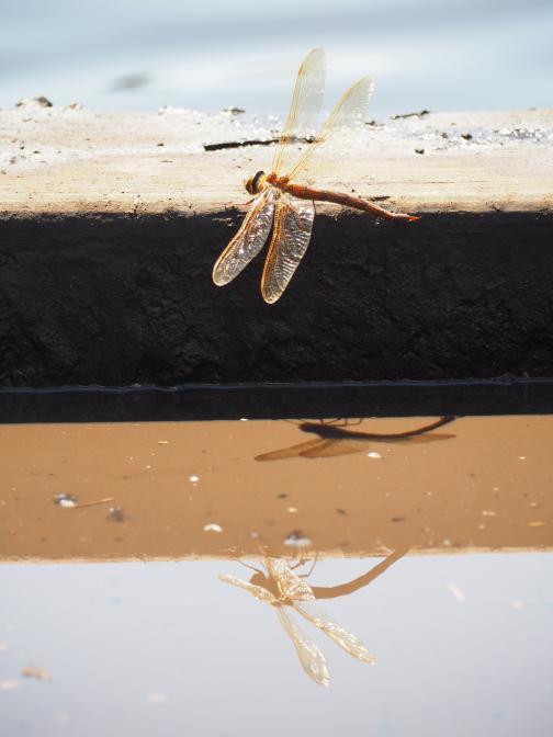 Dreifache Libelle